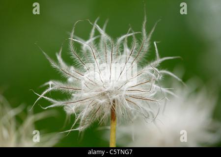 Germany, Bavaria, Anemone, close up - Stock Photo