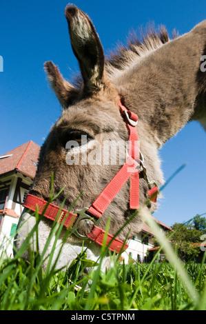 Portrait of donkey (Equus asinus asinus), close up - Stock Photo