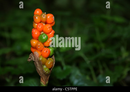 Ripening Berries Of Lords and Ladies Arum maculatum - Stock Photo