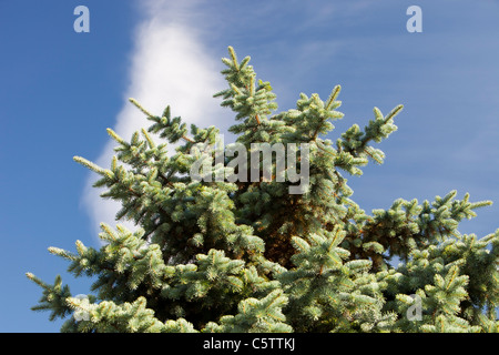 A conifer tree in a garden. - Stock Photo
