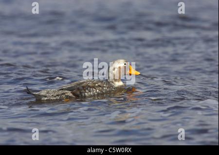 Falklands Flightless Steamer Duck Tachyeres brachypterus Stanley Falklands BI007513 - Stock Photo
