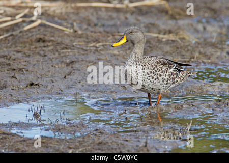 Yellow-billed duck (anas undulata) at Wilderness National Park in South Africa. - Stock Photo