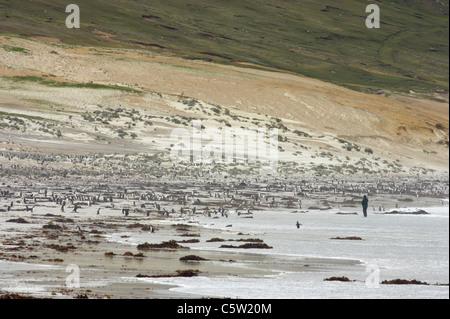 Magellanic Penguin - On beach with tourist Spheniscus magellanicus Saunders Island Falklands BI008443 - Stock Photo