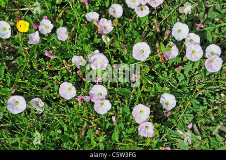 Bindweed Convolvulus arvensis growing in field margin - Stock Photo