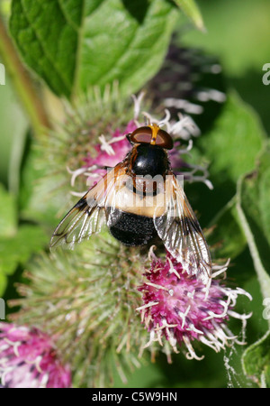 Pellucid Hoverfly, Volucella pellucens, Syrphidae, Diptera, Male, UK. Aka White Belted Plume Horn Hover-fly. Female. - Stock Photo
