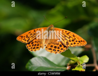 Silver-Washed Fritillary, Argynnis paphia, Nymphalidae. - Stock Photo