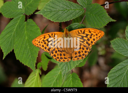 Silver-Washed Fritillary, Argynnis paphia, Nymphalidae. Resting on Bramble Leaves. - Stock Photo