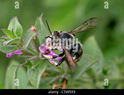 Wool Carder Bee, Anthidium manicatum, Megachilidae, Hymenoptera. - Stock Photo