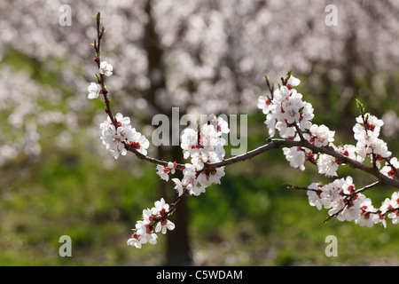 Austria, Lower Austria, Wachau, Twig of apricot blossoms, close up - Stock Photo