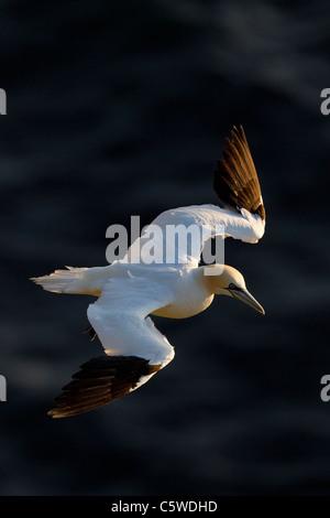 Northern Gannet (Sula bassana, Morus bassanus), adult in flight. - Stock Photo