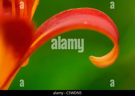 Lily (Lilium), close-up - Stock Photo