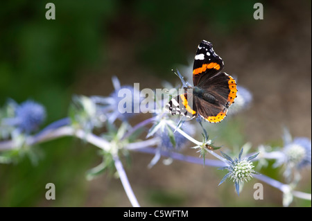 Vanessa atalanta . Red Admiral butterfly feeding on Eryngium (Sea Holly) - Stock Photo