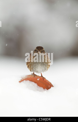 Hedgesparrow, Hedge Accentor, Dunnock (Prunella modularis), adult perched on flower pot in snow. - Stock Photo