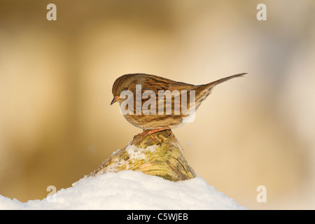 Hedgesparrow, Hedge Accentor, Dunnock (Prunella modularis), adult perched on log in snow. - Stock Photo