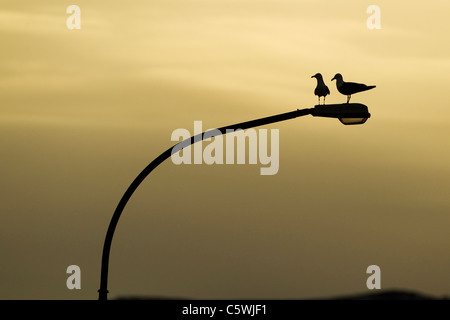 Lesser Black-backed Gull (Larus fuscus). Pair perched on street light at sunrise, Iceland. - Stock Photo