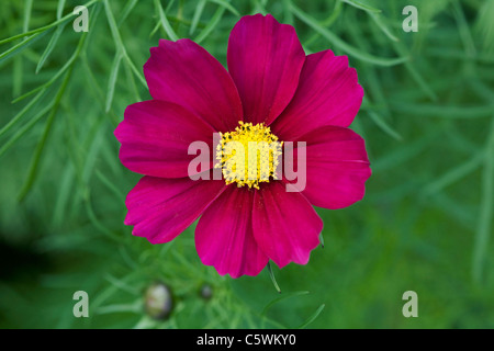 Cosmos bipinnatus flower. - Stock Photo