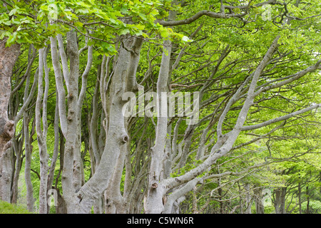 Common Beech, European Beech (Fagus sylvatica). Trees in early spring. Isle of Mull, Scotland, Great Britain. - Stock Photo