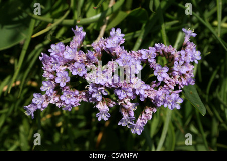 Common Sea-lavender Limonium vulgare - Stock Photo