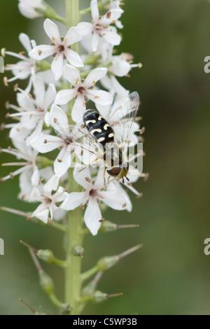Hover Fly - On Flower Scaeva pyrastri Garden, Essex, UK IN000799 - Stock Photo