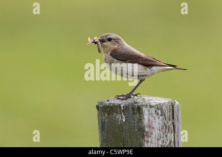 Northern Wheatear (Oenanthe oenanthe). Female perched on fence post with food for chicks. - Stock Photo