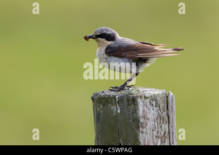 Northern Wheatear (Oenanthe oenanthe). Male perched on fence post with food for chicks. - Stock Photo