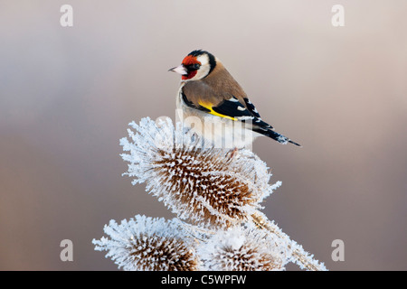 European Goldfinch (Carduelis carduelis). Adult perched on forst-covered teasel. - Stock Photo