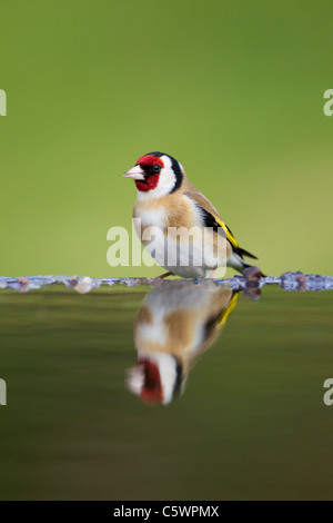 European Goldfinch (Carduelis carduelis). Adult drinking at garden pond. - Stock Photo