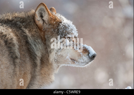 European Grey Wolf (Canis lupus), portrait of alpha male in winter (taken in controlled conditions). Norway. - Stock Photo