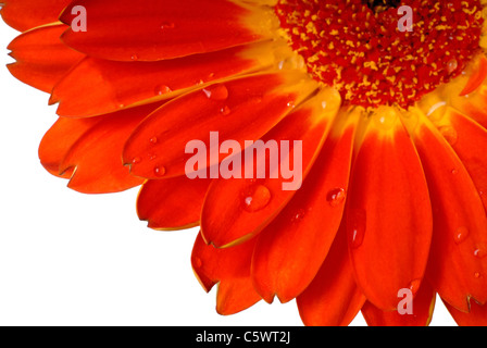 Red Gerber Daisy Macro Shot Of Petals With Water Drops, ( Asteraceae/Compositae ) - Stock Photo