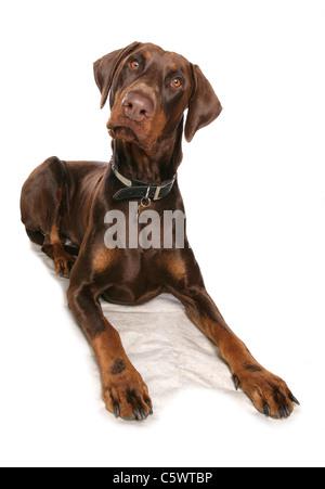 Brown Dobermann Single adult laying in studio UK - Stock Photo