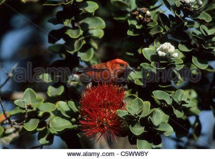 Apapane - on Ohio Flower Himatione sanguinea Big Island, Hawaii BI003583 - Stock Photo