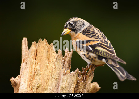 Brambling perched looking for food - Stock Photo