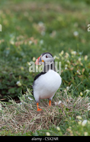 Atlantic Puffin Fratecula arctica adult in breeding plumage perched near entrance to nest burrow - Stock Photo