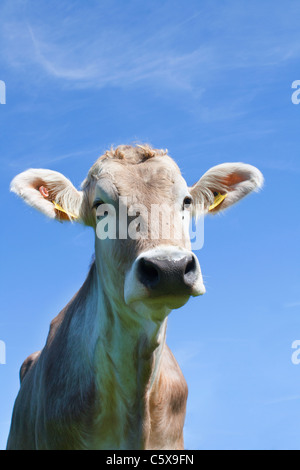 Austria, Mondsee, Cow looking at camera with blue background, close up - Stock Photo
