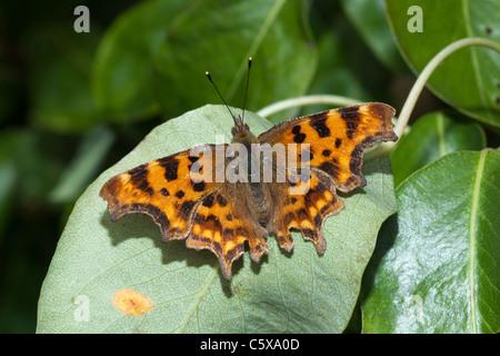 Comma butterfly, Polygonia c-album, garden in Kent, England, UK - Stock Photo