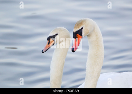 Mute Swan - Courtship display Cygnus olor Caerlaverock WWT BI020623 - Stock Photo