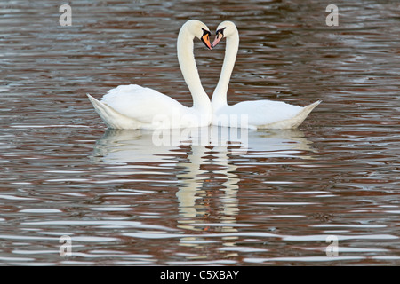 Mute Swan - Courtship display Cygnus olor Caerlaverock WWT BI020626 - Stock Photo