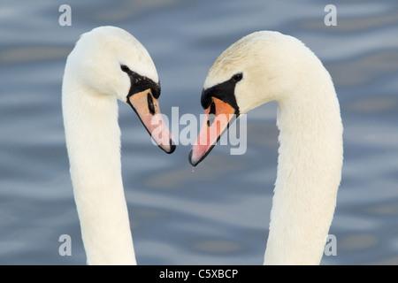 Mute Swan - Courtship display Cygnus olor Caerlaverock WWT BI020631 - Stock Photo