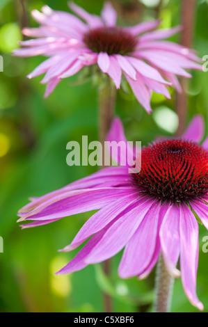 Echinacea purpurea 'rubinglow' coneflower - Stock Photo
