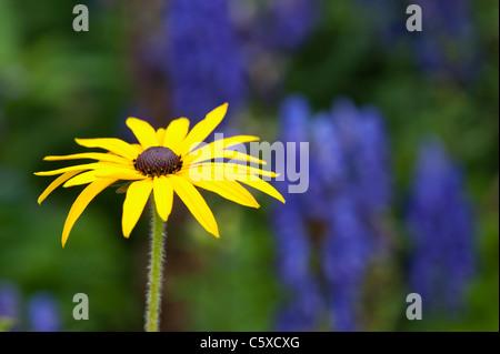 Rudbeckia fulgida var. deamii. Coneflower - Stock Photo