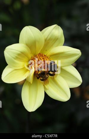 Boumblebees on yellow zinnia flowers - Stock Photo
