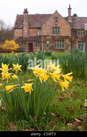 Wild trumpet daffodils in bloom in front of a large farm house on an estate in rural Dorset, UK. - Stock Photo