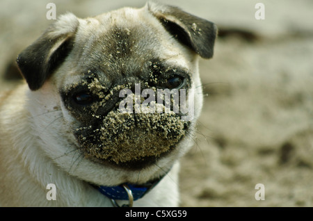 Adorable 36 week old female pure bred Chinese pug puppy with her face caked with sand. - Stock Photo