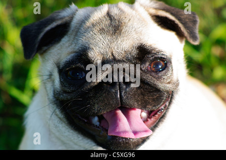 A 6 month (36 week) old female pure bred Chinese pug puppy standing in the grass. - Stock Photo
