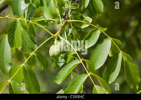 Green english Walnuts unripe Persian Walnut (Juglans regia) with leaves on walnut tree branch 119078 Wallnuts - Stock Photo