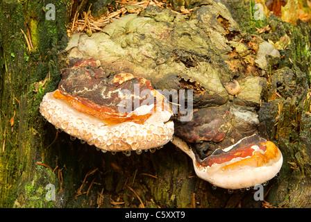 Zunderschwamm - Tinder Fungus 03 - Stock Photo