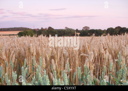 Ripening wheat field in mid-summer, West Yorkshire, UK - Stock Photo