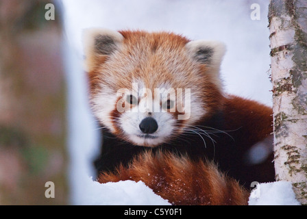 Red Panda Ailurus fulgens, or shining-cat - Stock Photo