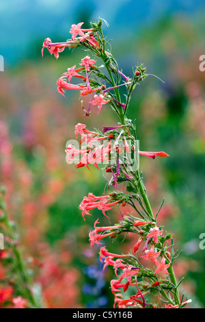 Ipomopsis Tenuituba wildflowers in bloom along Brush Creek Road near Crested Butte, Colorado, USA - Stock Photo