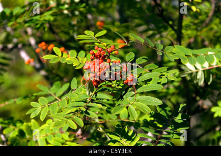 Rowan tree (Sorbus aucuparia) also known as Mountain Ash. Red fruit berries, leaves. Scotland - Stock Photo